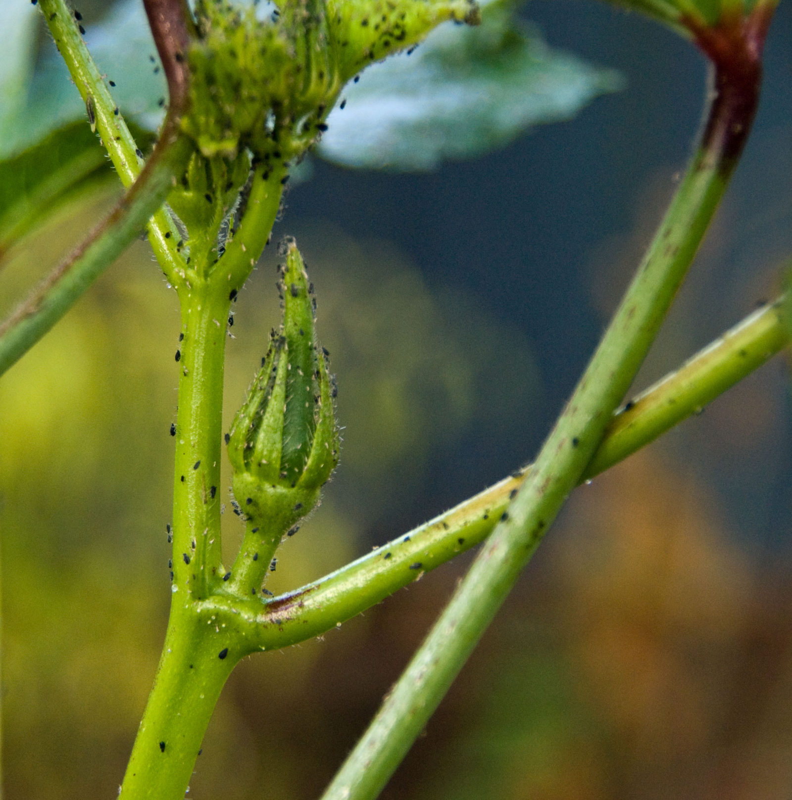 Black Pests On Okra Plant
