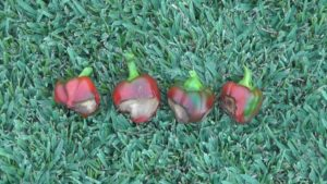Blossom End Rot in peppers
