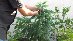 Pruning Curry Leaf Plant