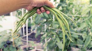 Asparagus Beans Harvest