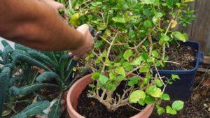 Pruning Jasmine Plant