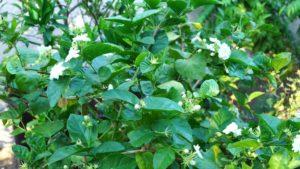 Jasmine Plant Care