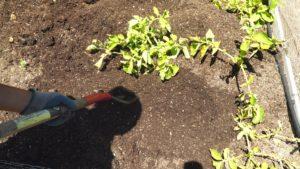 Growing & Harvesting Potatoes