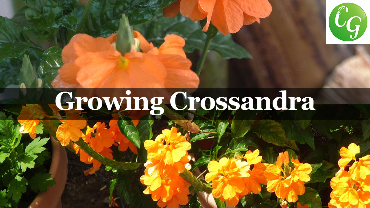 Growing Crossandra