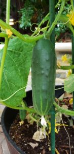 Bush Slicer Cucumber