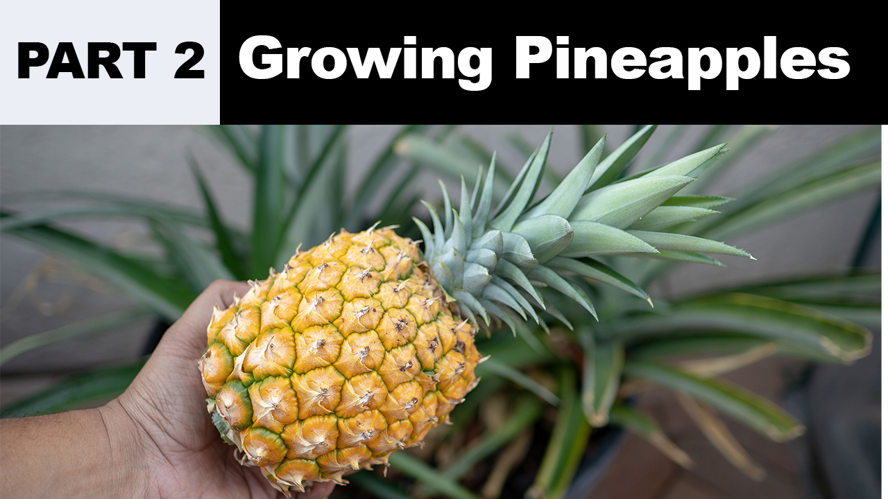 Growing Pineapples Part 2