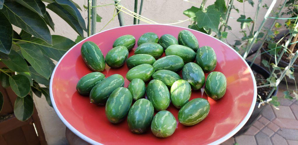 Ivy Gourd Harvest