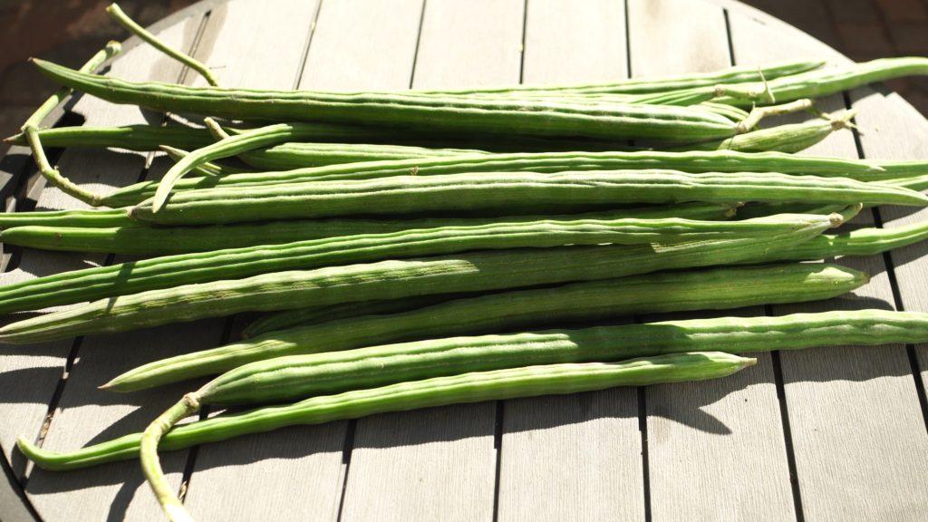 Moringa harvest