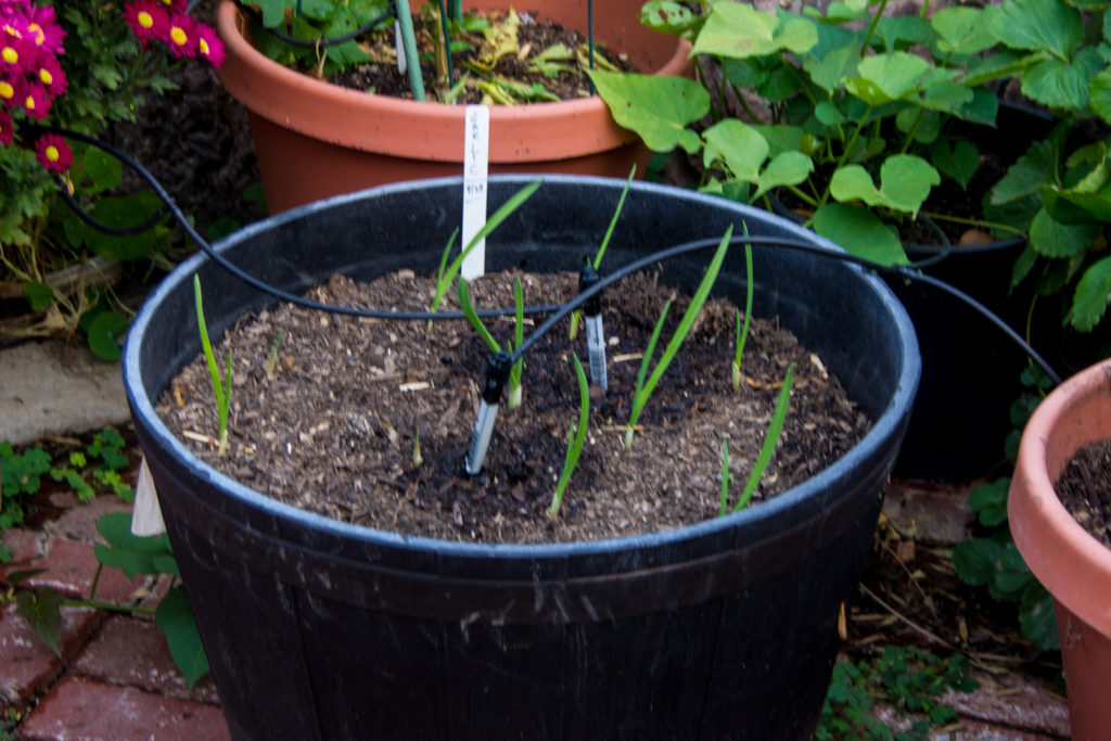Garlic seedlings