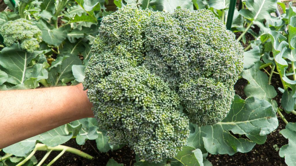 Main Broccoli head