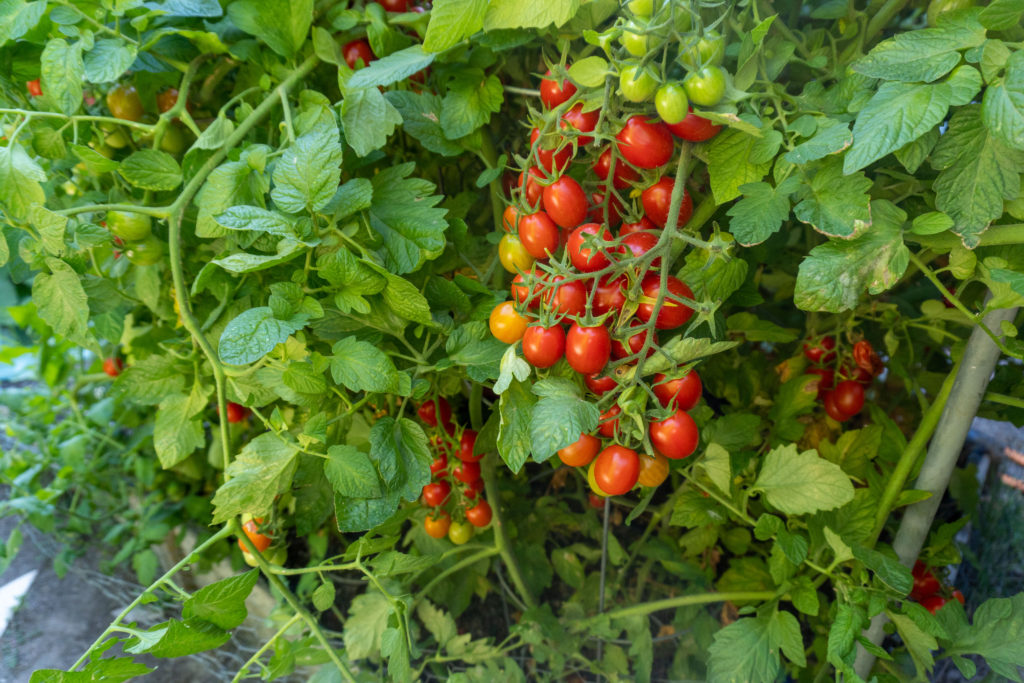 Italian Roma Tomato Plant