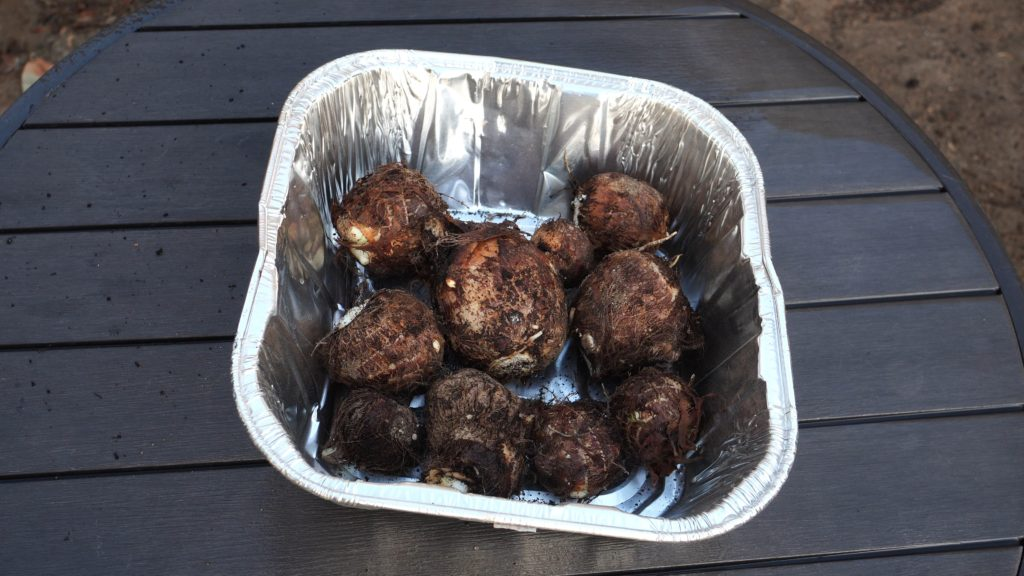 Taro Root Harvest