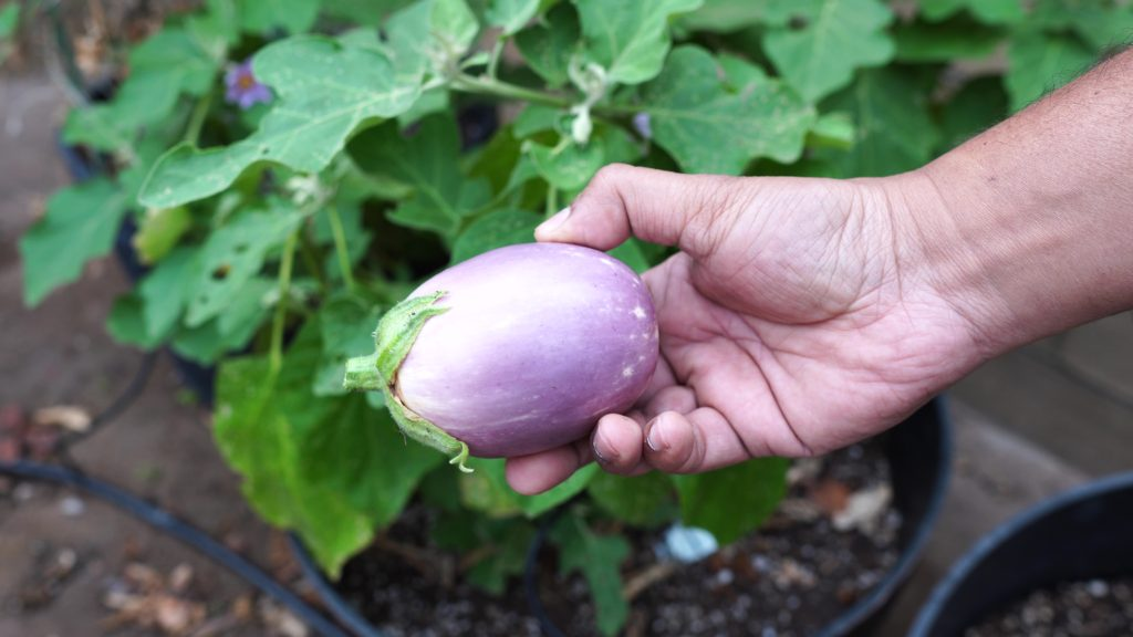 Amethyst Eggplant