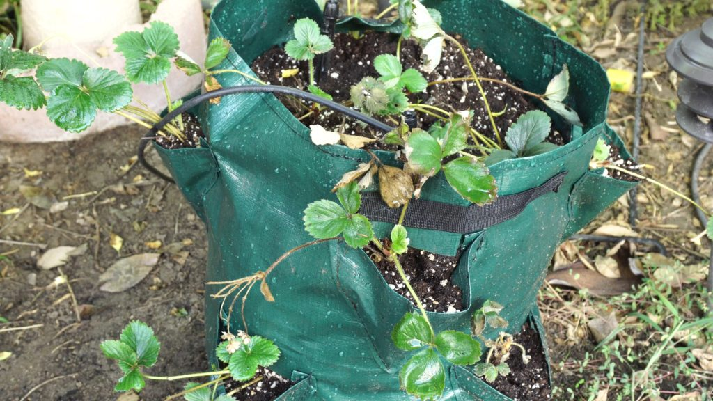 Planting strawberry plants in grow bag sleeves