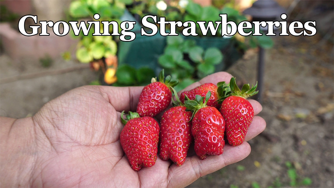 Growing strawberries in grow bags