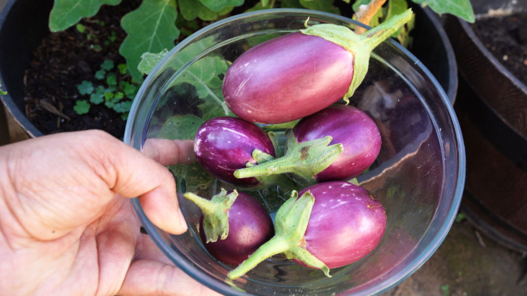 Container Prince Eggplant