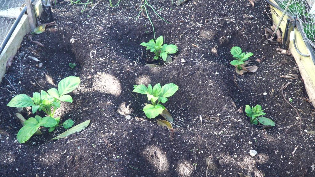 Potato plants have emerged