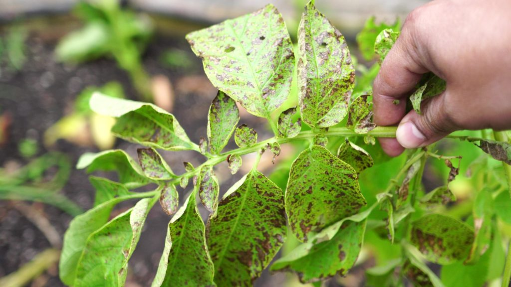 Blight disease