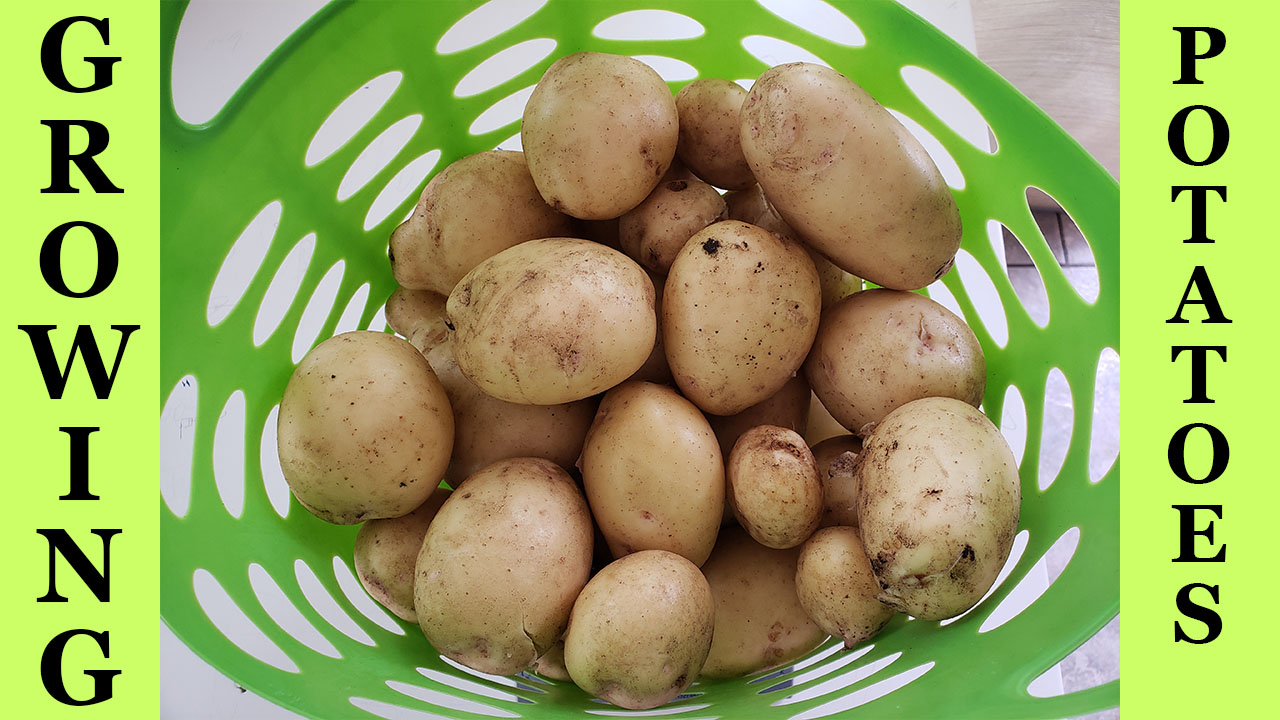 Growing Yukon Gold potatoes in raised beds