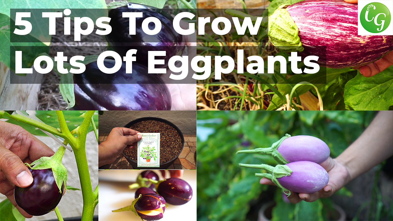 5 Tips to Grow lots of eggplants