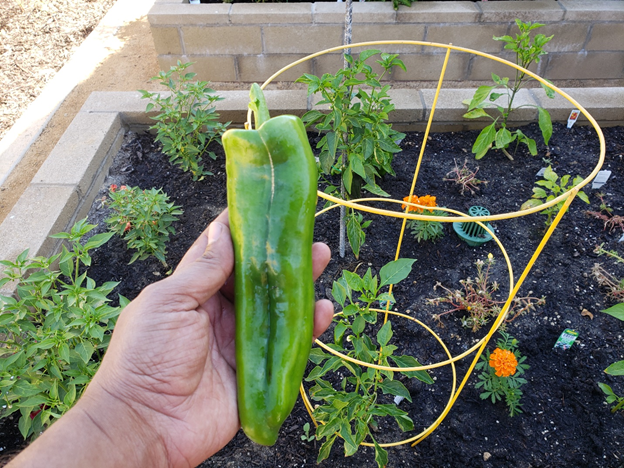 Giant Marconi pepper