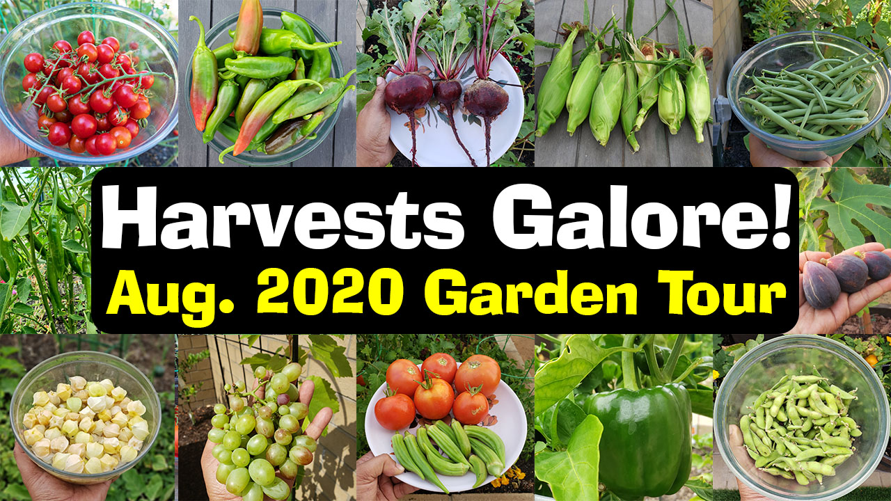 Harvests Galore! August 2020 Garden Tour