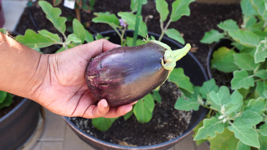 Black beauty eggplant variety