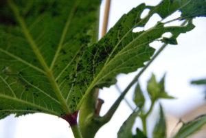 Black Pests On Okra Plant