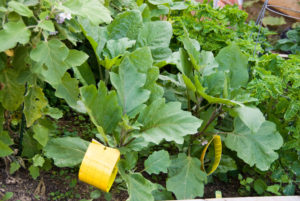 Whitefly trap tied to eggplant