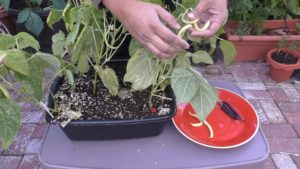 Bush Beans in small containers