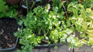 Cilantro growing in container