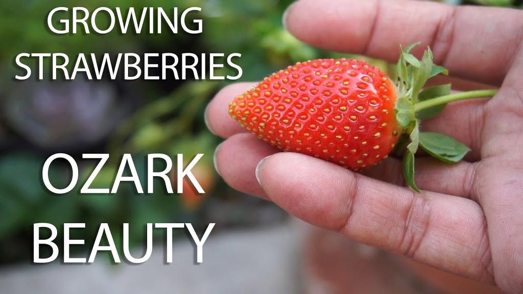 Growing Strawberries – Ozark Beauty