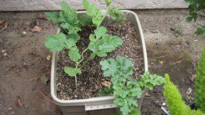 Watermelon plant not getting sunlight
