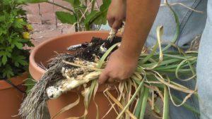 Premature Harvest of Garlic