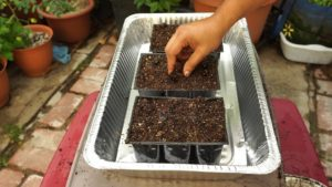Starting curry seeds in container