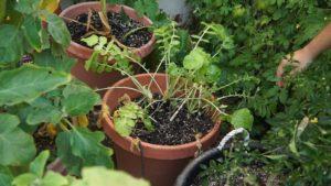 Radish grown in summer heat