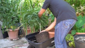 Repotting Curry Leaf Tree