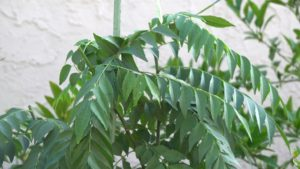 Curry Leaf Harvest