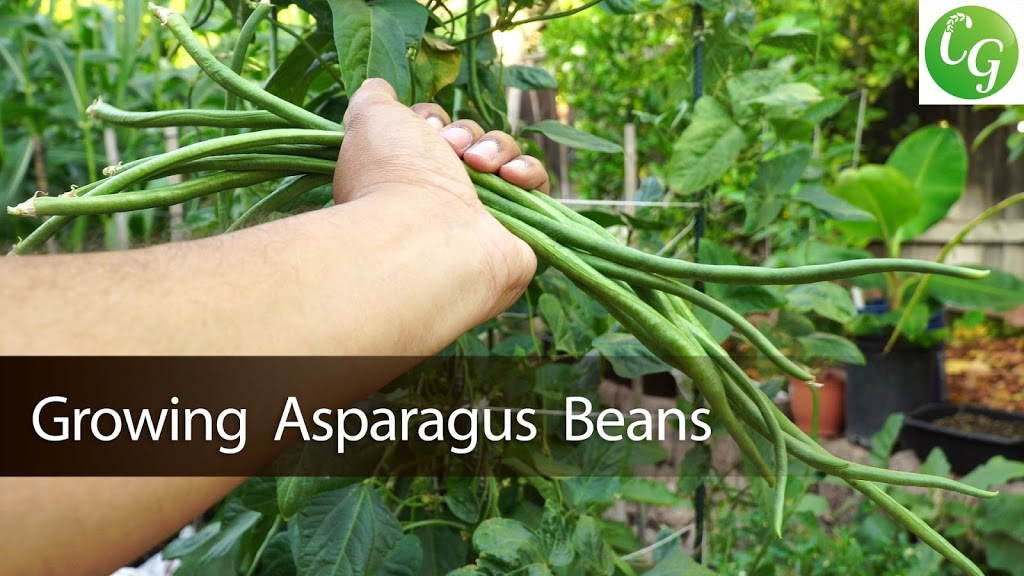 Asparagus Beans Or Chinese Long