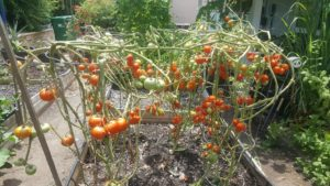 Tomatoes after spider mite damage