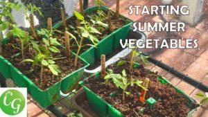 Starting summer vegetable seeds