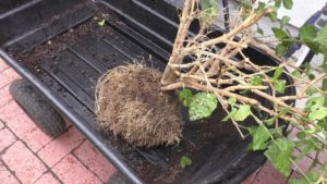 Repotting root bound plants