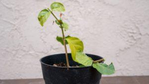 Planting Jasmine