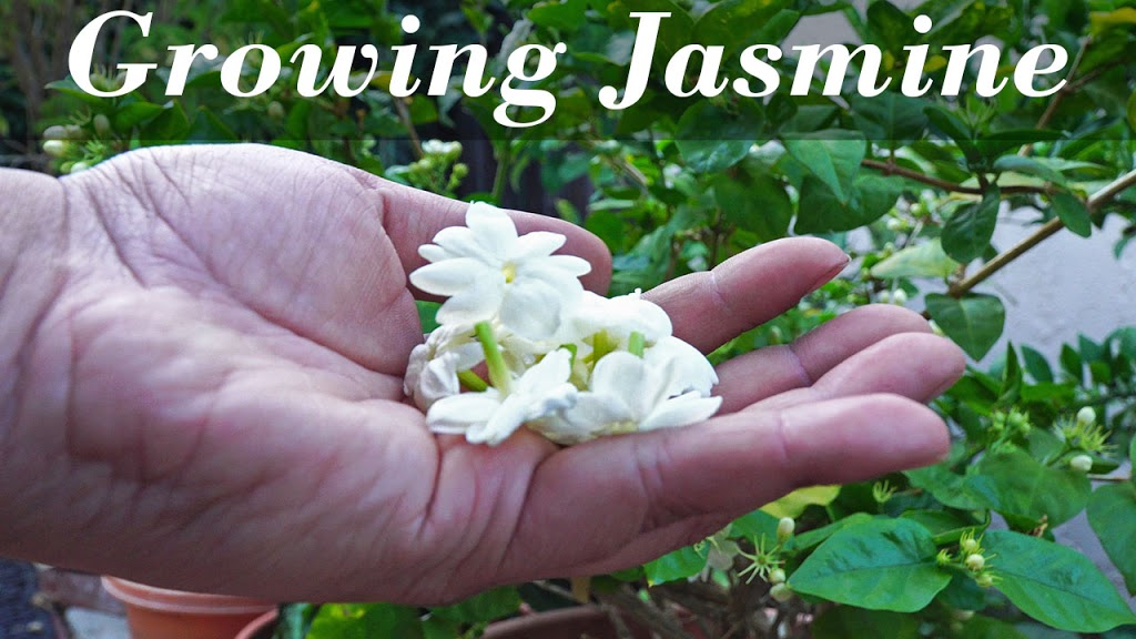 Growing Jasmine (Jasminum sambac)