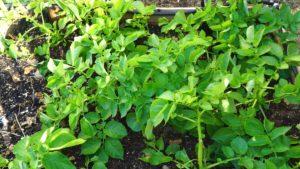Growing potatoes in raised beds