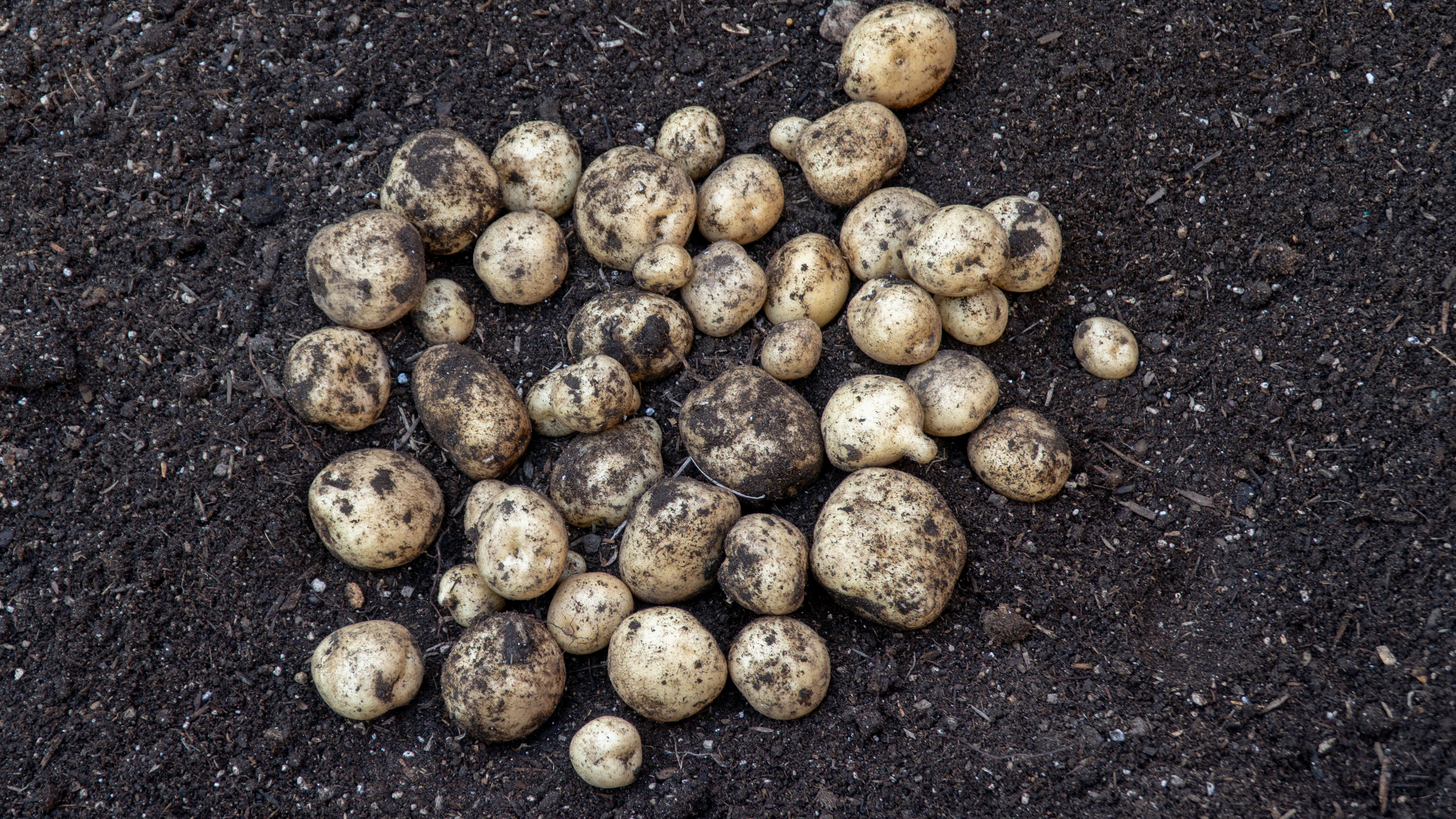 Growing Potatoes In Raised Beds & How To Grow & Harvest Potatoes From Seed Potatoes