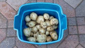 Potato Harvest Bucket