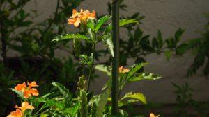 Kanakambram or Firecracker Plant