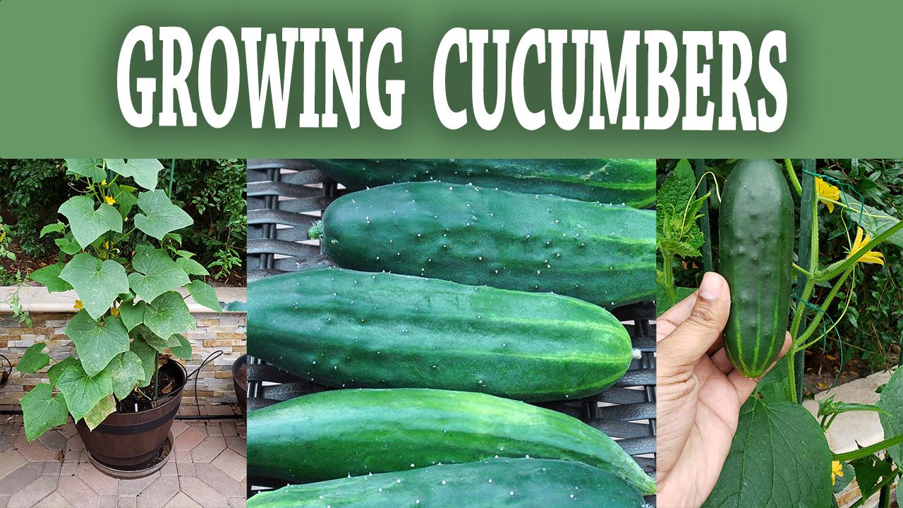 Compact Bush Cucumber : How To Grow Bush Slicer Cucumbers