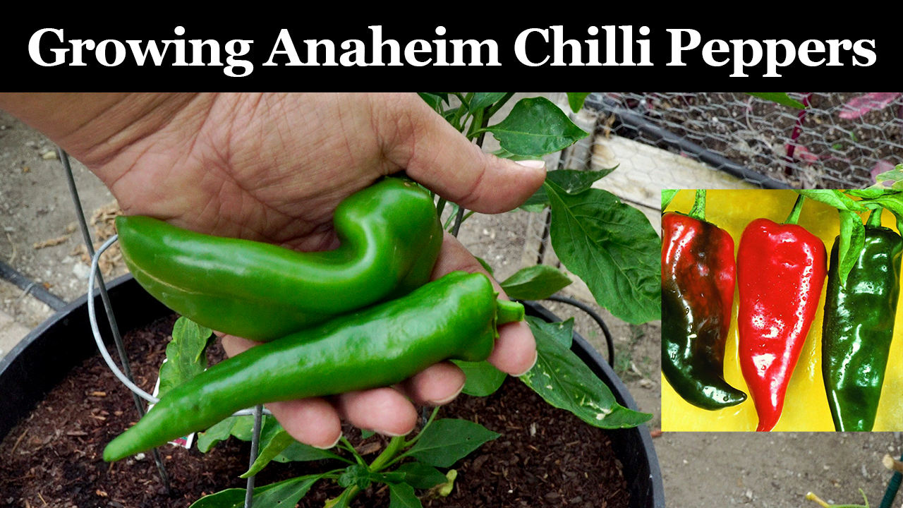 Growing Anaheim Chilli Peppers – How To Grow Anaheim/New Mexico.California Chillies